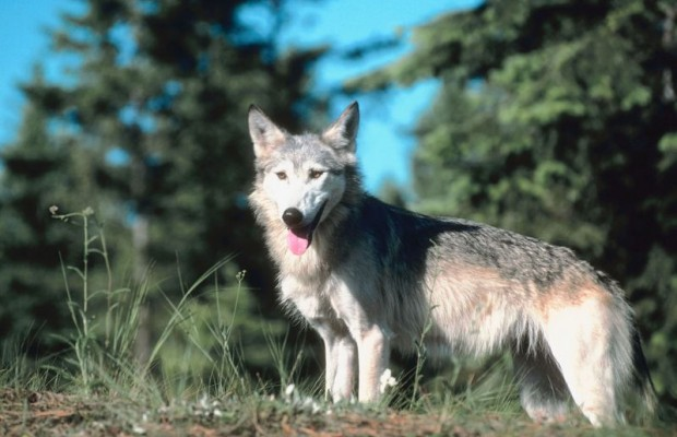 Cattle Groups Want Gray Wolf De Listed