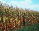 CornDry