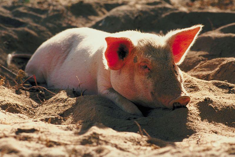 PigSingle