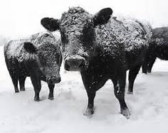 Anthrax Confirmed In One Cow In North Dakota