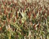 Sorghum in the field